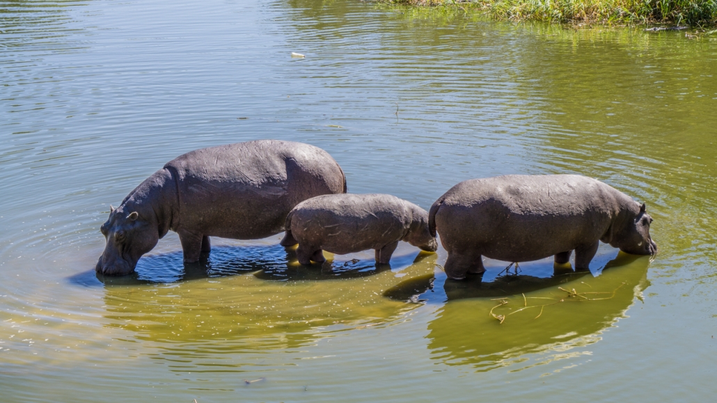 Hippos in Maun