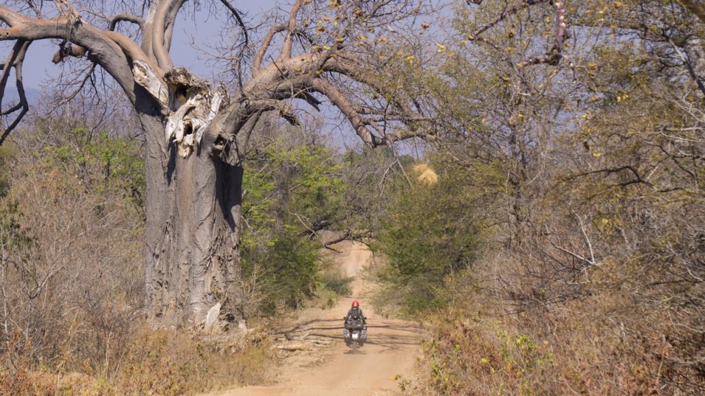 Some more Baobab trees