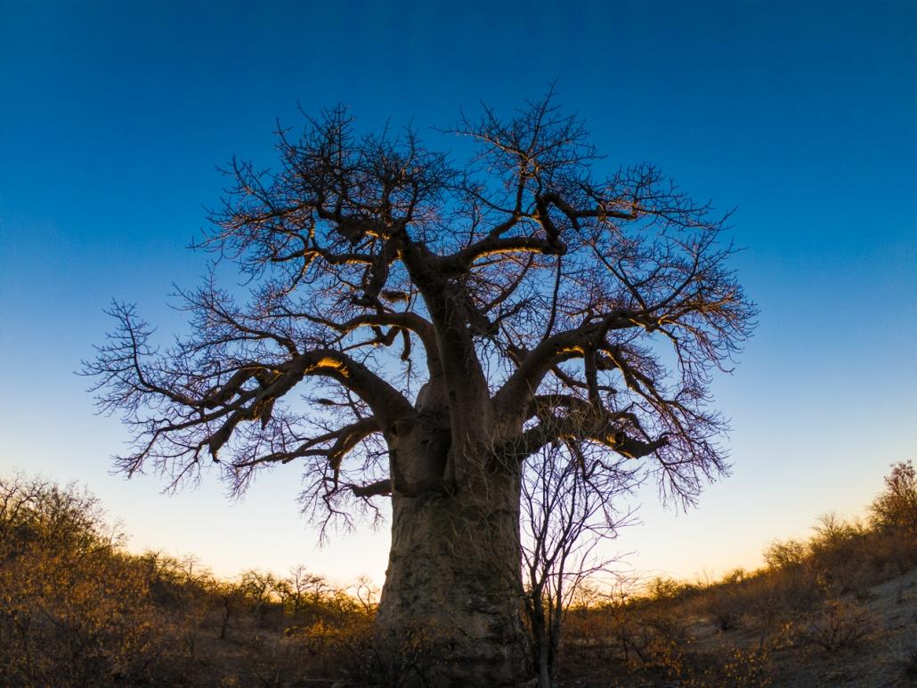 Beautifu Baobab