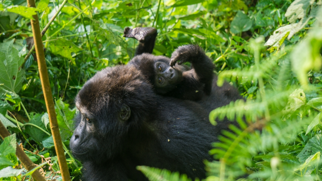 Visit the Mubare gorilla family with their new borns